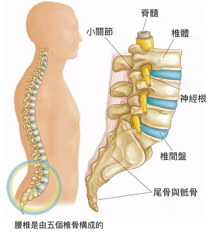 下背痛-腰椎滑脫-椎弓解離-永和骨科推薦-陳奕霖醫師-脊椎-腰椎構造示意圖